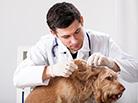 L'allergie aux puces chez le chien ou Dermatite (DAPP)